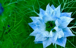Blue_flower_thumb